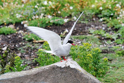 Common Tern. Isle of May.