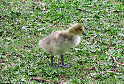 Canadian Goose Chick, Westport Lake, Stoke-on-Trent. May 2013.
