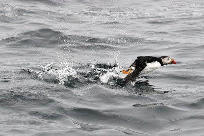 Puffin taking off. Sea off Isle of May.