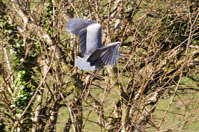 Heron, Chycara Farm B &B, Cornwall. April 2013.