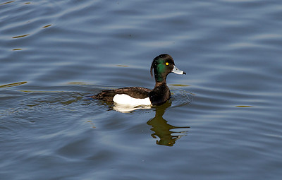 Tufted Duck, Nailsea Pool. 02/04/2012.