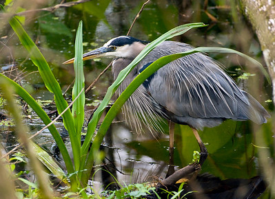 Great Blue Heron, Corkscrew Swamp, Florida