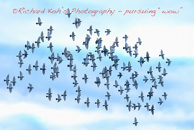 A Flock of Doves