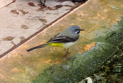 Grey Wagtail, Tenerife. March 2013.