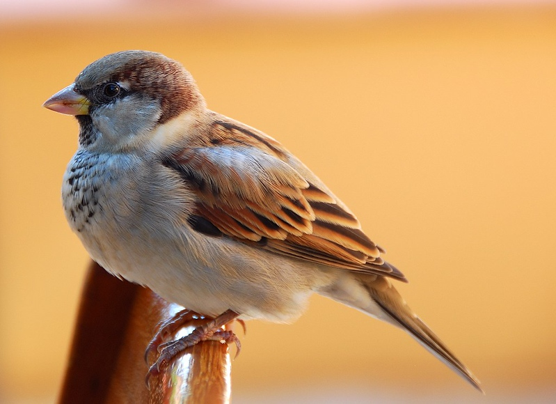 DOMESTIC SPARROW