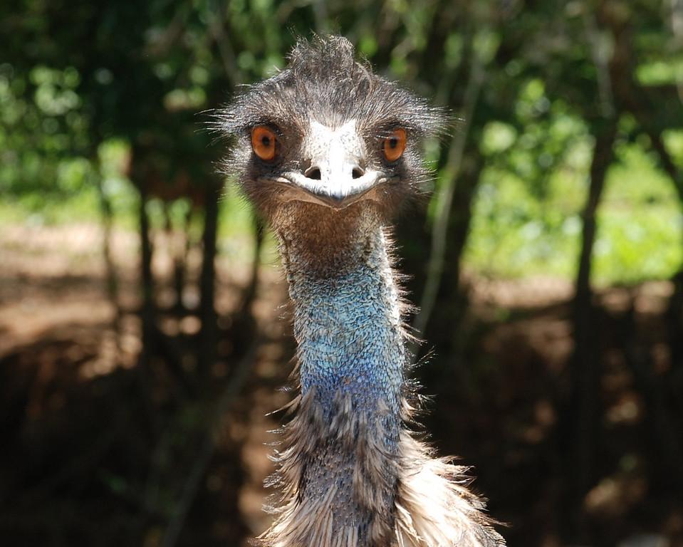 Emu, Noah's Ark