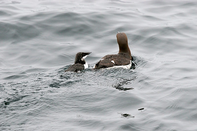 Guillemot and chick. Sea off Isle of May.