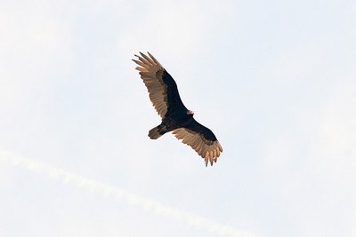Turkey Vulture, Tehachapi Mountins. CA