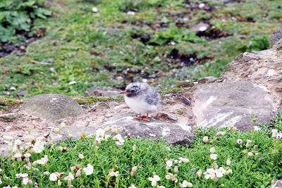 Common Tern chick. Isle of May.