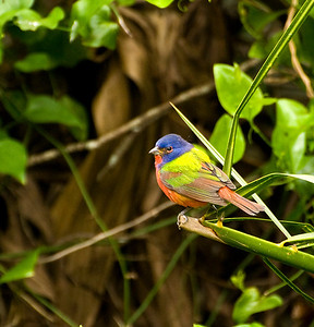 American Painted Bunting