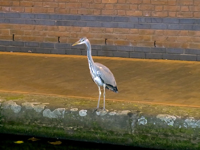 A very tame Heron fishing the canal in a very busy Brindley Place, Broad Street, Birmingham. He didn't mind people walking past him but crossed to the otherside if a cyclist went past! Evening of Thursday 27th October 2016.