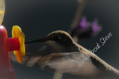 To view pics from this download go to HUMMINGBIRDS