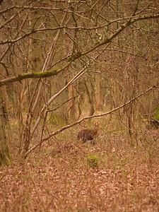 A distant Muntjac deer