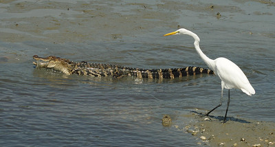 Great Egret  walking over to see what the alligator found to eat
