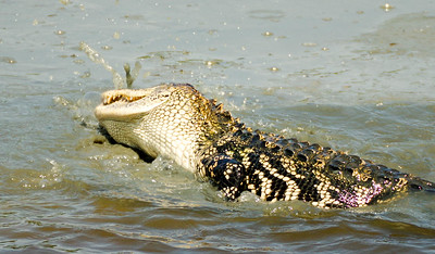 Alligator rolling over again and again stirring up fish