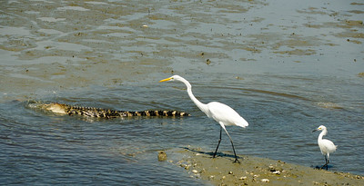 Great  Egret, Snowy Egret and alligator eating fish