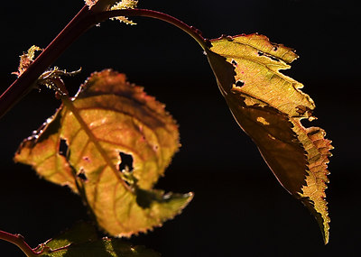 Apricot Leaves in the sun - Geelong - Australia 2007