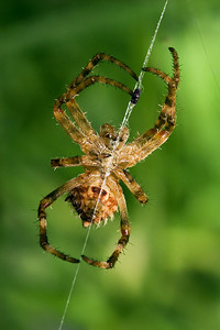 Typical Garden Spider on Web - Geelong - Australia 2007