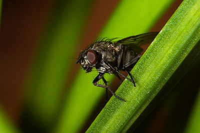 Fly on Leaf - Geelong - Australia 2006