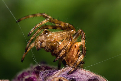 Typical Garden Spider- Ready to Pounce - Geelong - Australia 2006