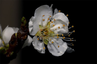 Plumb Blossom with Ant
