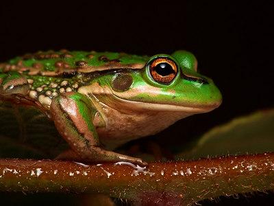 Green Tree Frog - Geelong - Australia