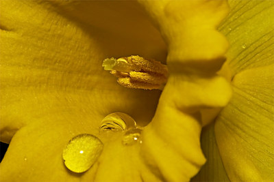 Daffodil - Home Grown - Australia