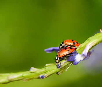 Piggy Back Ladybugs