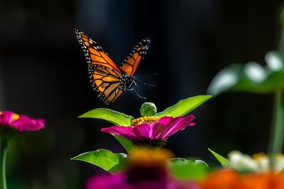 Monarch 08
