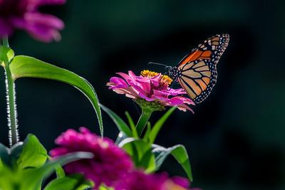 Monarch 04
