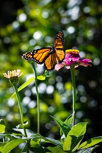 Monarch 16
