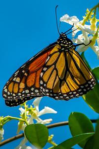 Monarch 02