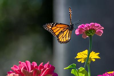 Monarch 17