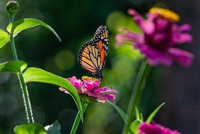 Monarch 07