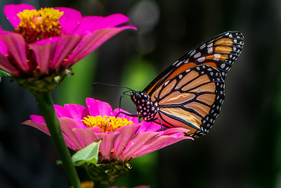 Monarch 21