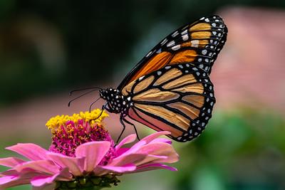 Monarch 19