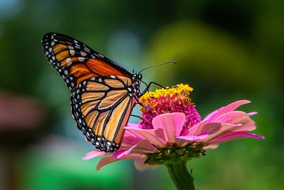 Monarch 20