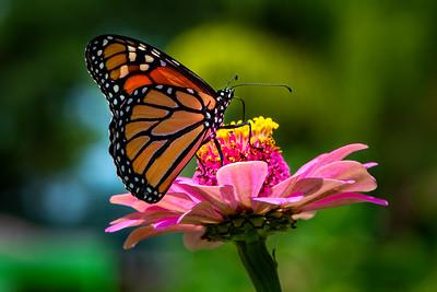 Monarch 03