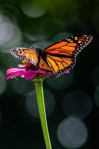 Monarch 06