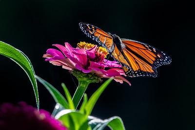 Monarch 05