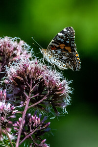 Painted Lady 04