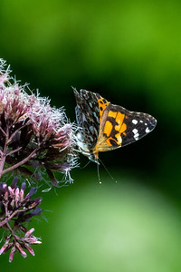 Painted Lady 05