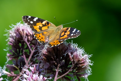 Painted Lady 02