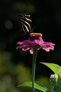 Zebra Long Wing 10