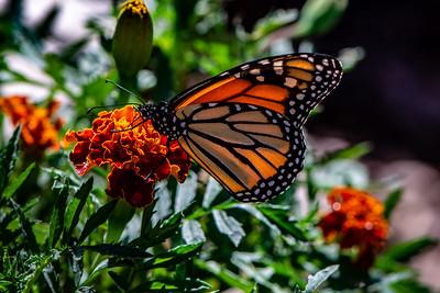 Butterfly - 004 Monarch