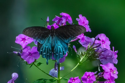 Pipevine Swallowtail  01 - male
