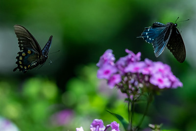 Pipevine Swallowtail  05