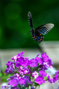 Pipevine Swallowtail  04