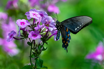 Pipevine Swallowtail  02