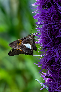 Silver Spotted Skipper 05